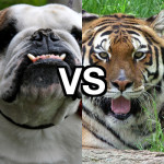 Dogs vs Tigers